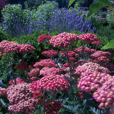 ... herbal remedies info though the yarrow that grows wild is often