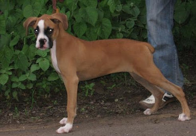 Boxer Dog Breed Pictures