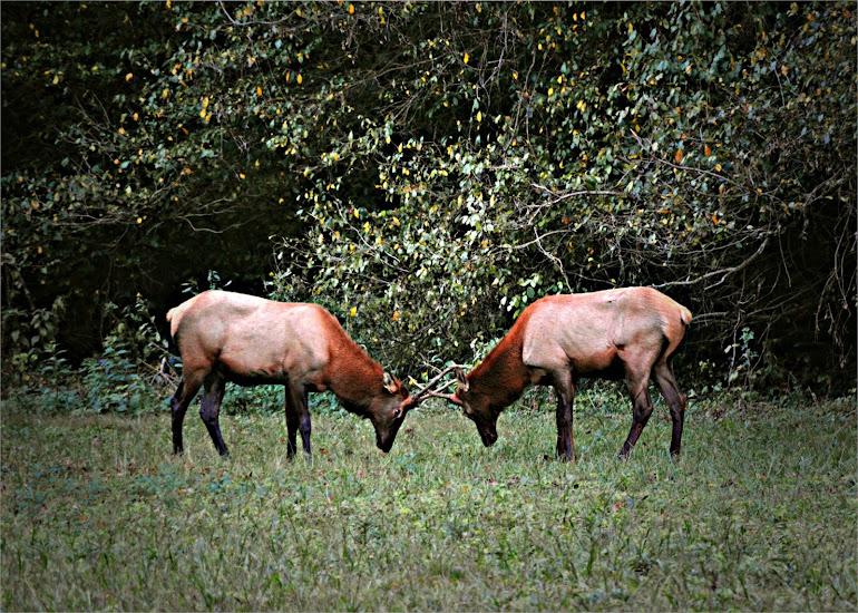 Elk Dancing - Great Smoky Mountains