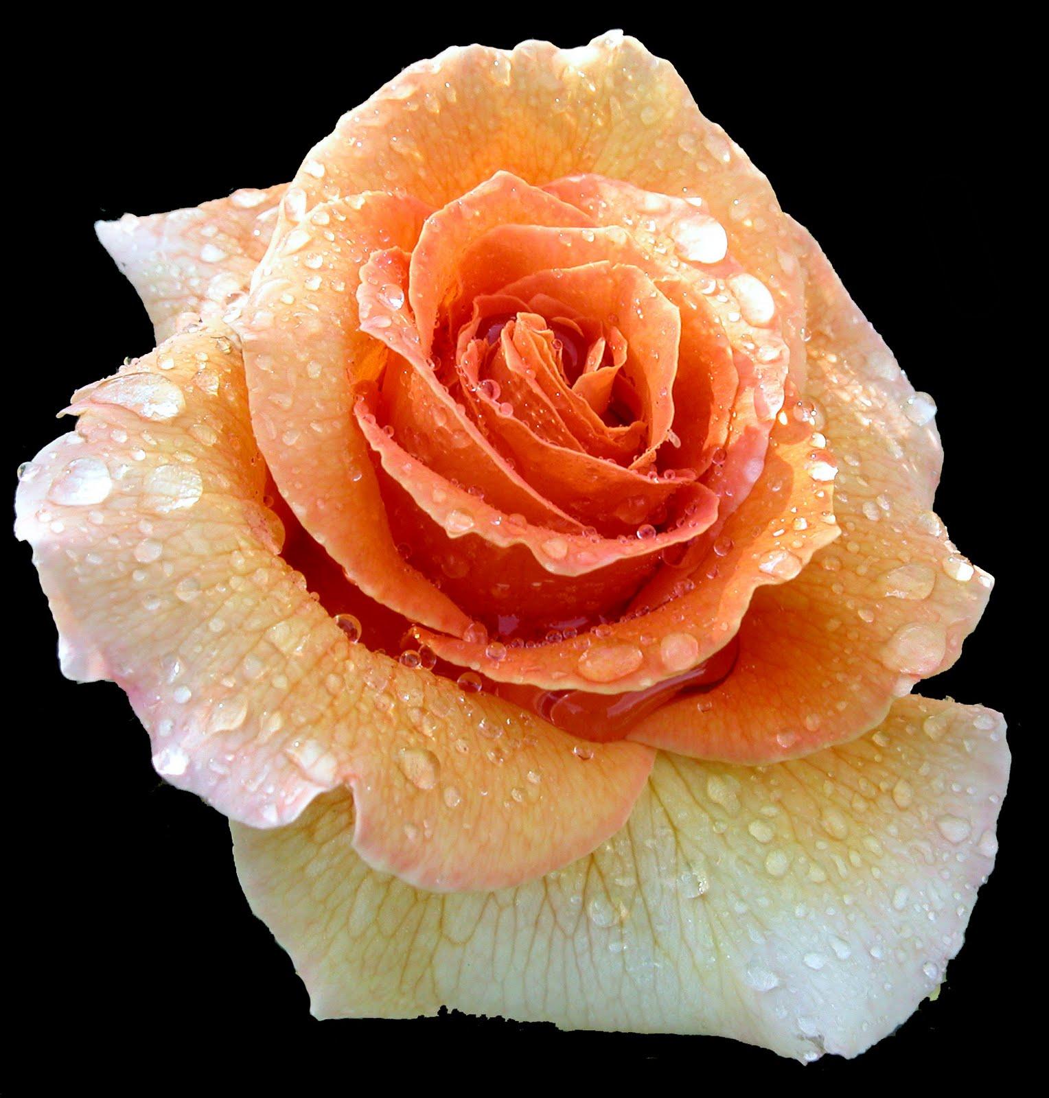 Free image bank rosas de colores para el 10 de mayo x 12 - Fotos de rosas de colores ...
