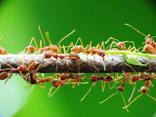 Dominasi semut