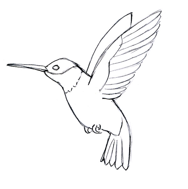Simple Line Drawing Algorithm : How to draw a hummingbird male models picture