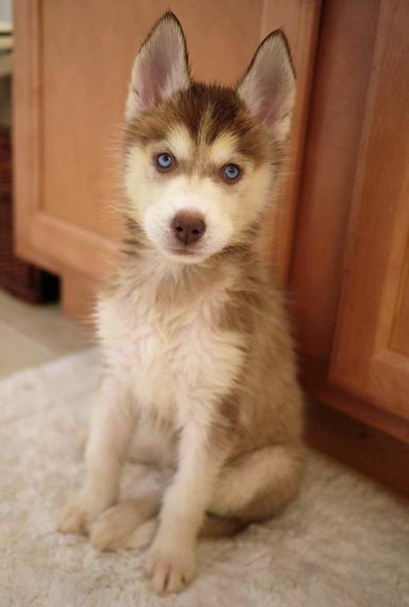 laika the siberian husky 57048 2011 03 27 w450 Britain is a country with more and more fat old men with diabetes