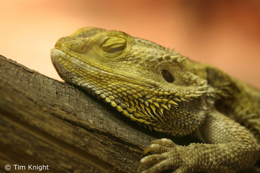 My background blog bearded dragon background bearded dragon background voltagebd Choice Image