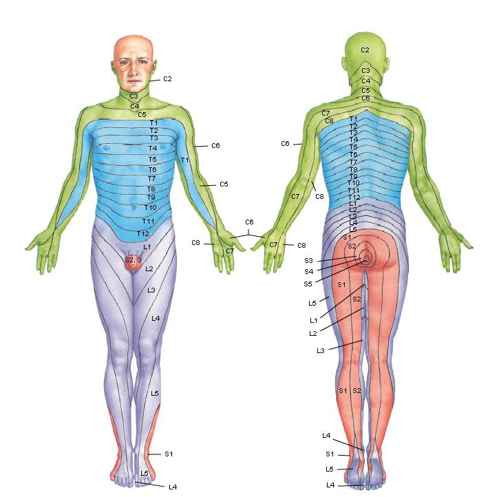 Anatomía 2012 - Ayudante Pablo Prado: Dermatomas...