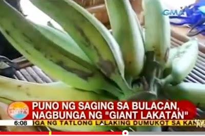 http://www.gmanetwork.com/news/video/308982/unangbalita/puno-ng-saging-sa-bulacan-nagbunga-ng-giant-lakatan