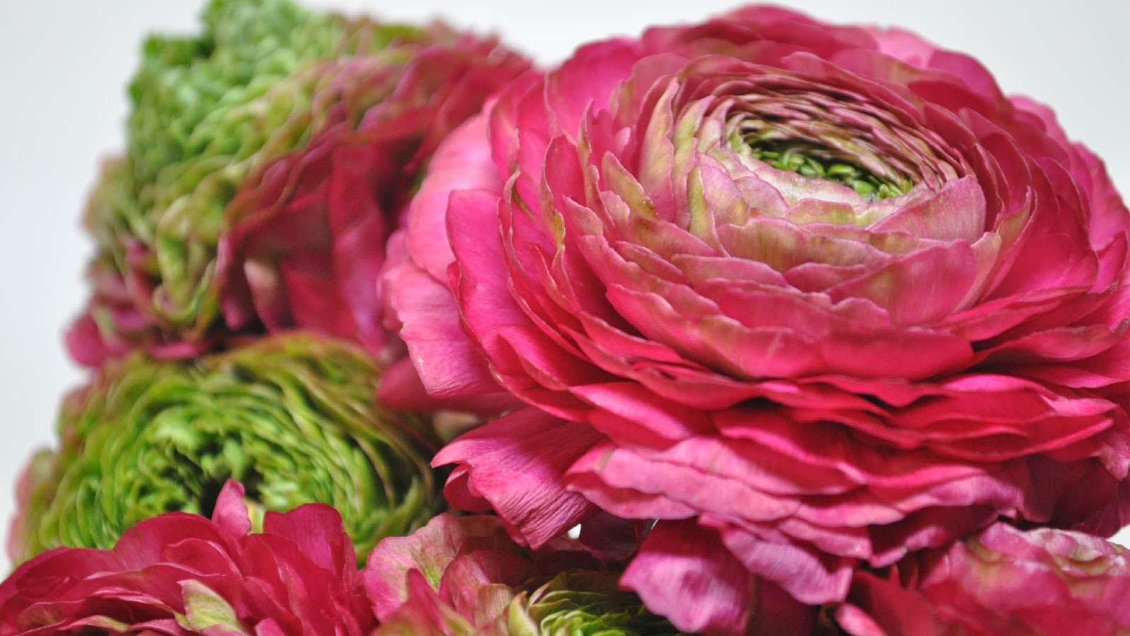Ranunculus HD Wallpapers High Definition