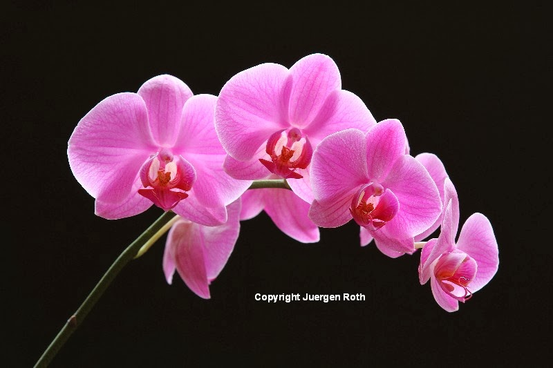 http://juergen-roth.artistwebsites.com/featured/the-pink-orchid-juergen-roth.html