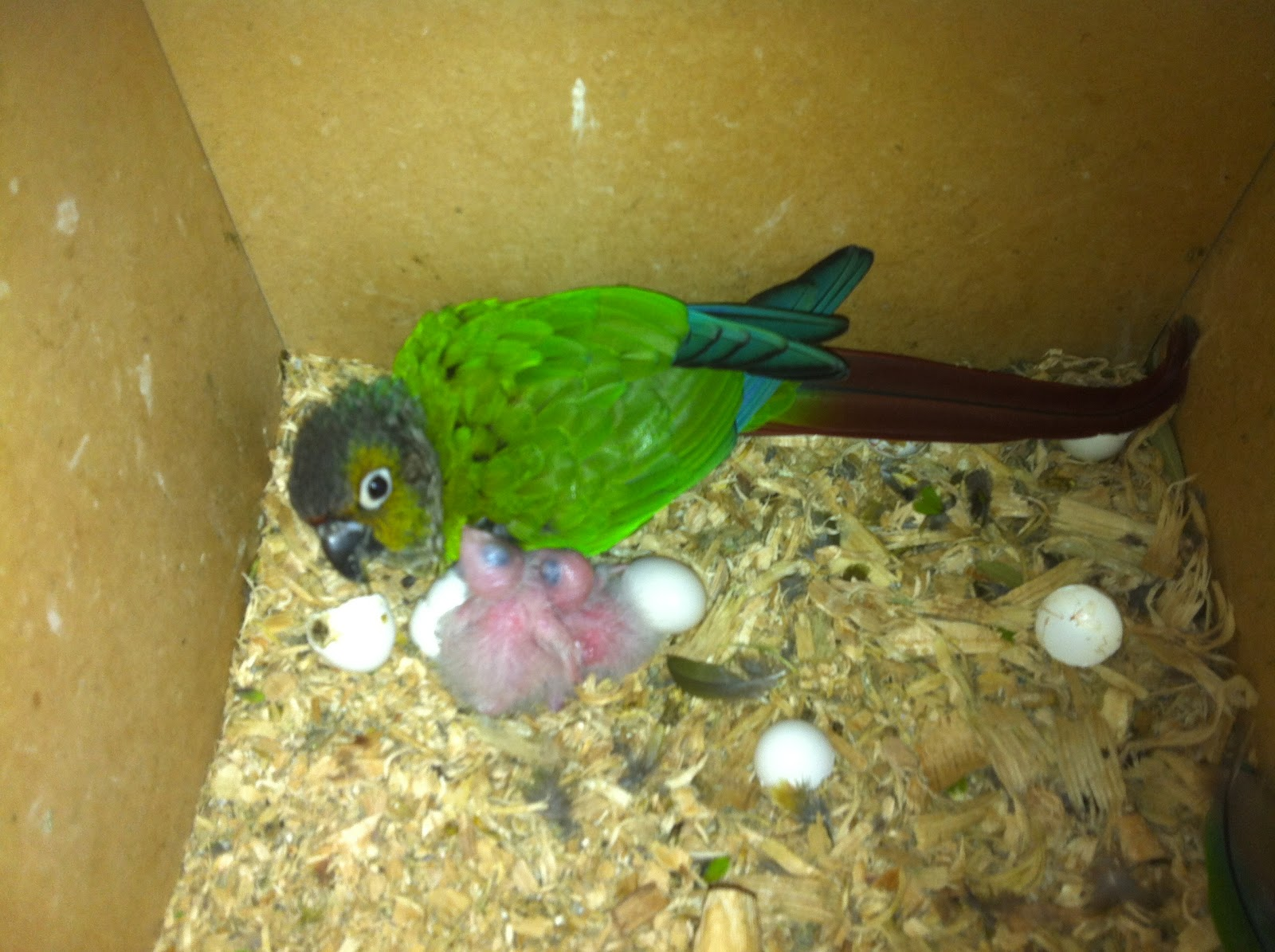 Indian Green Parrot http://parrotbreeding.blogspot.com/2012/11/1-2-3-green-cheek-conure-chicks.html