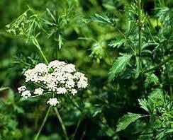 Planta Medicinal especial para la Mujer