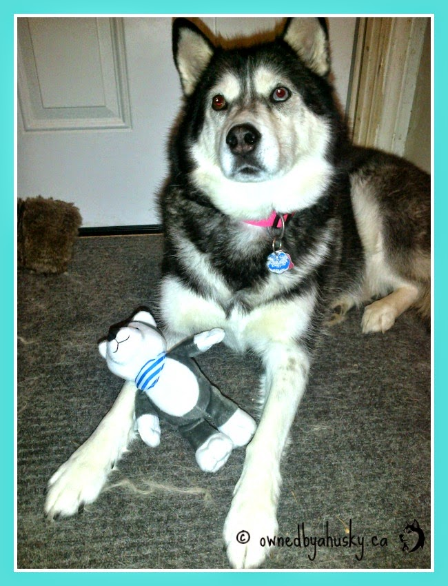 Husky poses with the holiday kinder egg husky