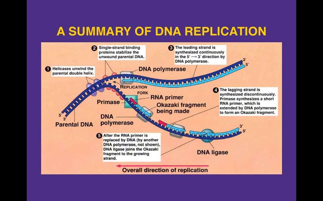 dna replication animation by interact medical ted ed : replication fork diagram - findchart.co