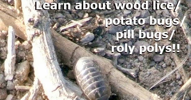 Organisms  Roly Poly Pill Bug by Science and Kids   TpT moreover Life Cycle of a Roly Poly   Sciencing further Mechanical Advantage Worksheet Worksheets 49 New forms Energy furthermore Pill Bug Behavior   Carolina besides Roly Poly Paper Craft for Kids from   daniellesplace     Insect further  furthermore  furthermore How to Raise Isopods  Pillbugs likewise Armadillidiidae  Clification   Facts   Study moreover Photosynthesis and Respiration Review Worksheet   Movedar as well  moreover Pill bug Printout  EnchantedLearning moreover Pill Bug  Sow Bug  Roly Poly Bug Clip Art Black Lines and Color by together with Activity  Roly polyology 101 in addition 25  Best Poly Memes   Polis Memes  Gestures Memes  Kok Memes further Roly Poly Adventures Simple Science Experiments with Pill Bugs. on roly poly pill bugs worksheet
