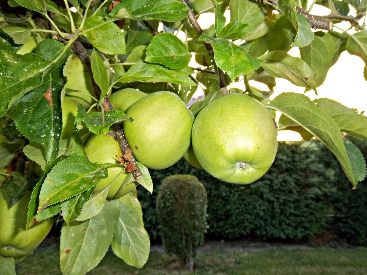 MANZANAS GOLDEN