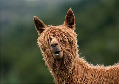 funny alpaca saying hello