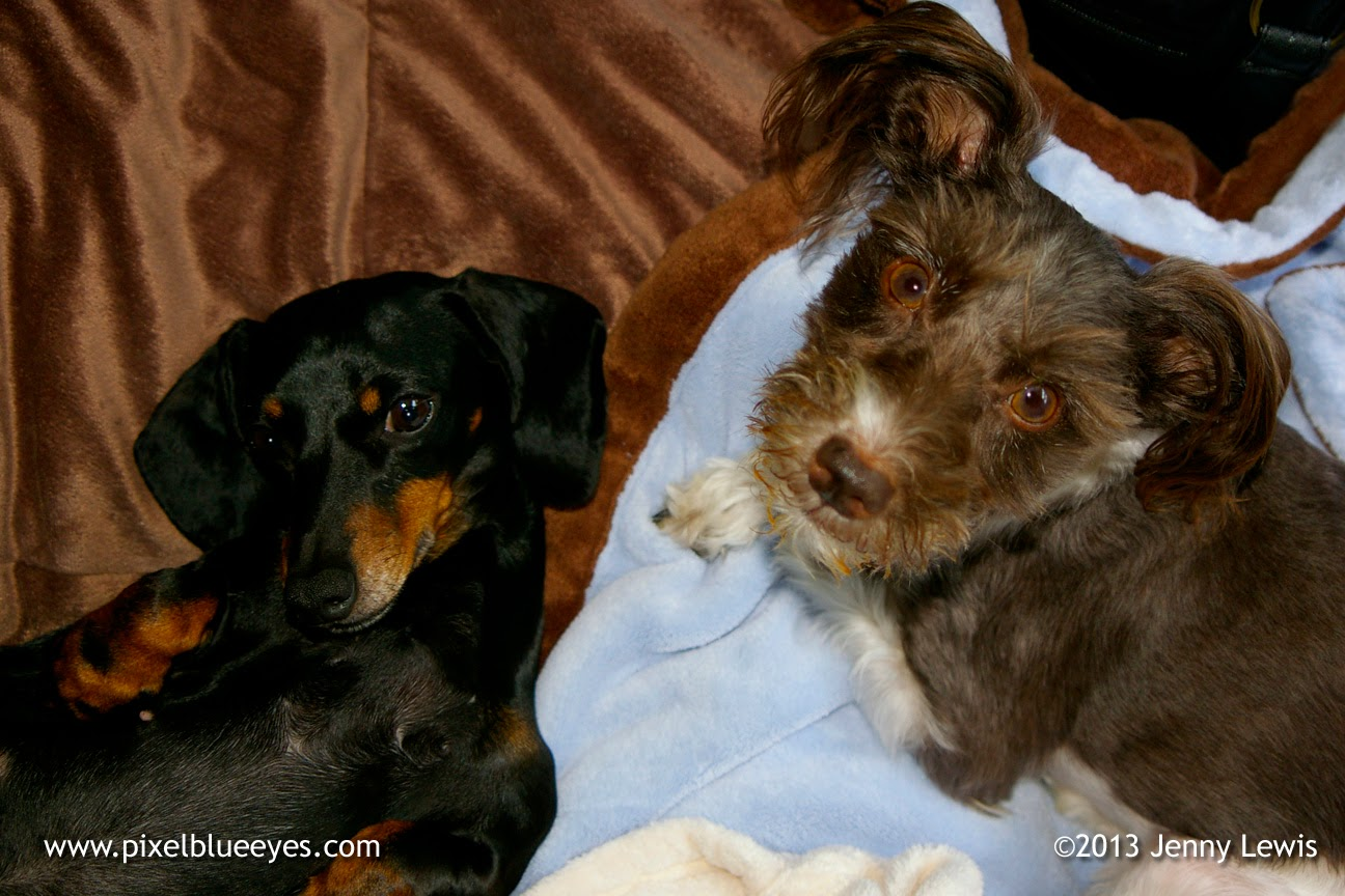 Photo of Pixel Blue Eyes (right) with her sister Dixie Mae, a Dachshund