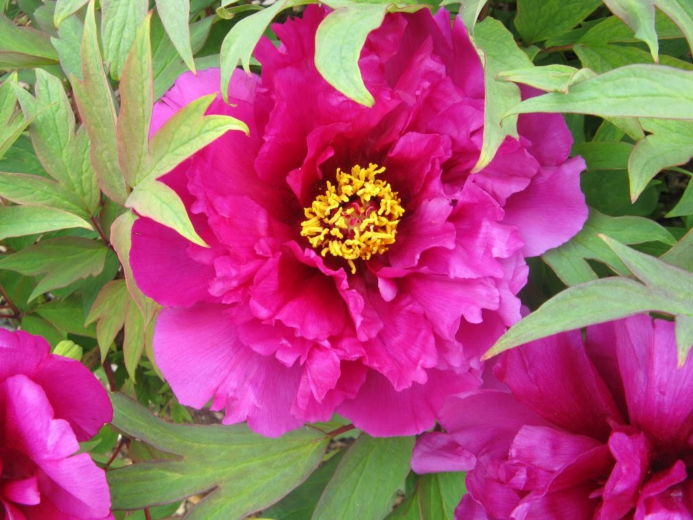 Royal Botanical Gardens purple peony by garden muses-not another Toronto gardening blog