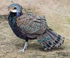 Павлиний фазан фото