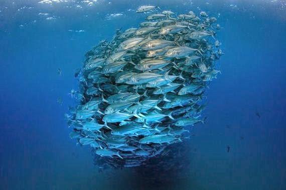 baile subacuatico de peces gato en parque nacional cabo pulmo