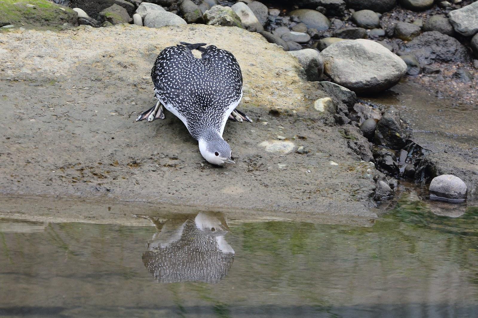 萬里 - 紅喉潛鳥