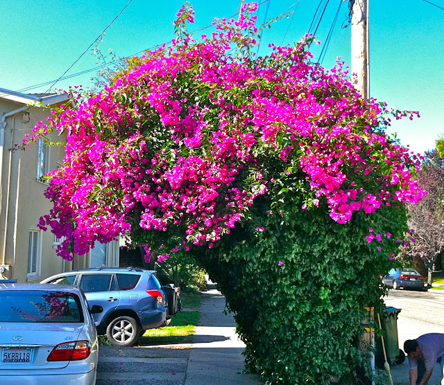 Bougainvillea Gone Wild