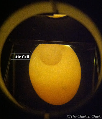 This egg was hours old. Candling reveals the small air cell.