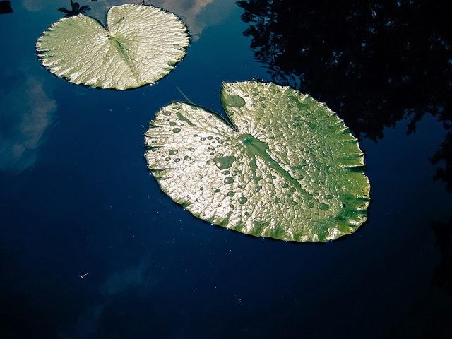 Frunze de nufar