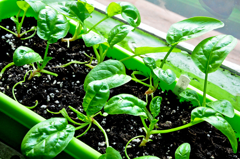 Desktop Garden: Spinach Looking More Like the Real Thing