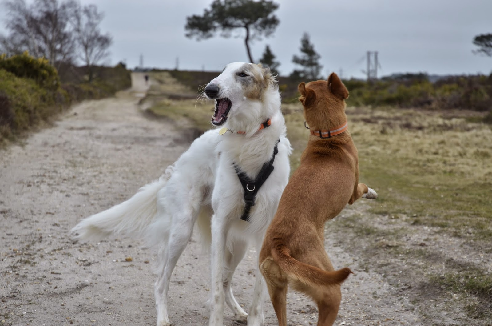 Just in Style borzoi dog and pharaoh hound playing in Poole's heath