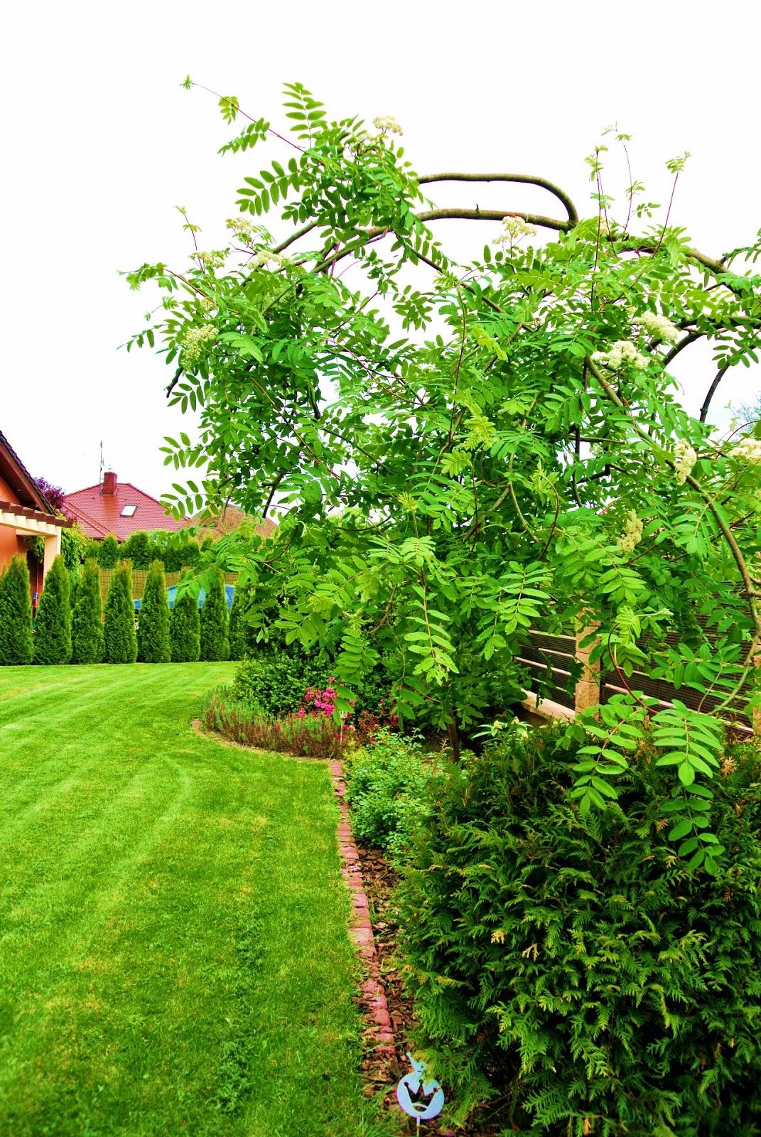 koszenie trawnika,co ile kosić trawnik,jak kosić,zakładanie trawnika,jarząb pendula,jarzębina pendula,jakie drzewa do ogródka,lawenda w ogrodzie,lawenda