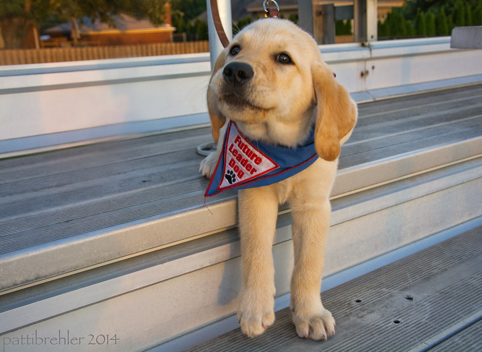 The small puppy is now sitting on the step of the bleacher with his front paws on the step below. He is looking sideways at the camera with a sassy look in his eyes.