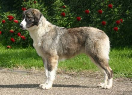 Carpathian Shepherd Dog Large Dog