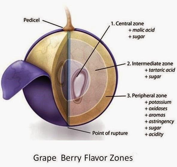 Anatomy Of A Grape Vine 5418991 Follow4morefo