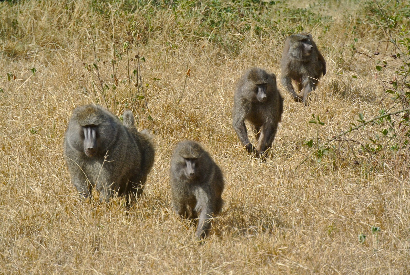 Baboon foraging choices depend on their habitat and social status: study