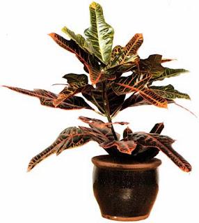 Кодиеумы, или кротоны, очень требовательны к уходу, но это очень эффектные растения.