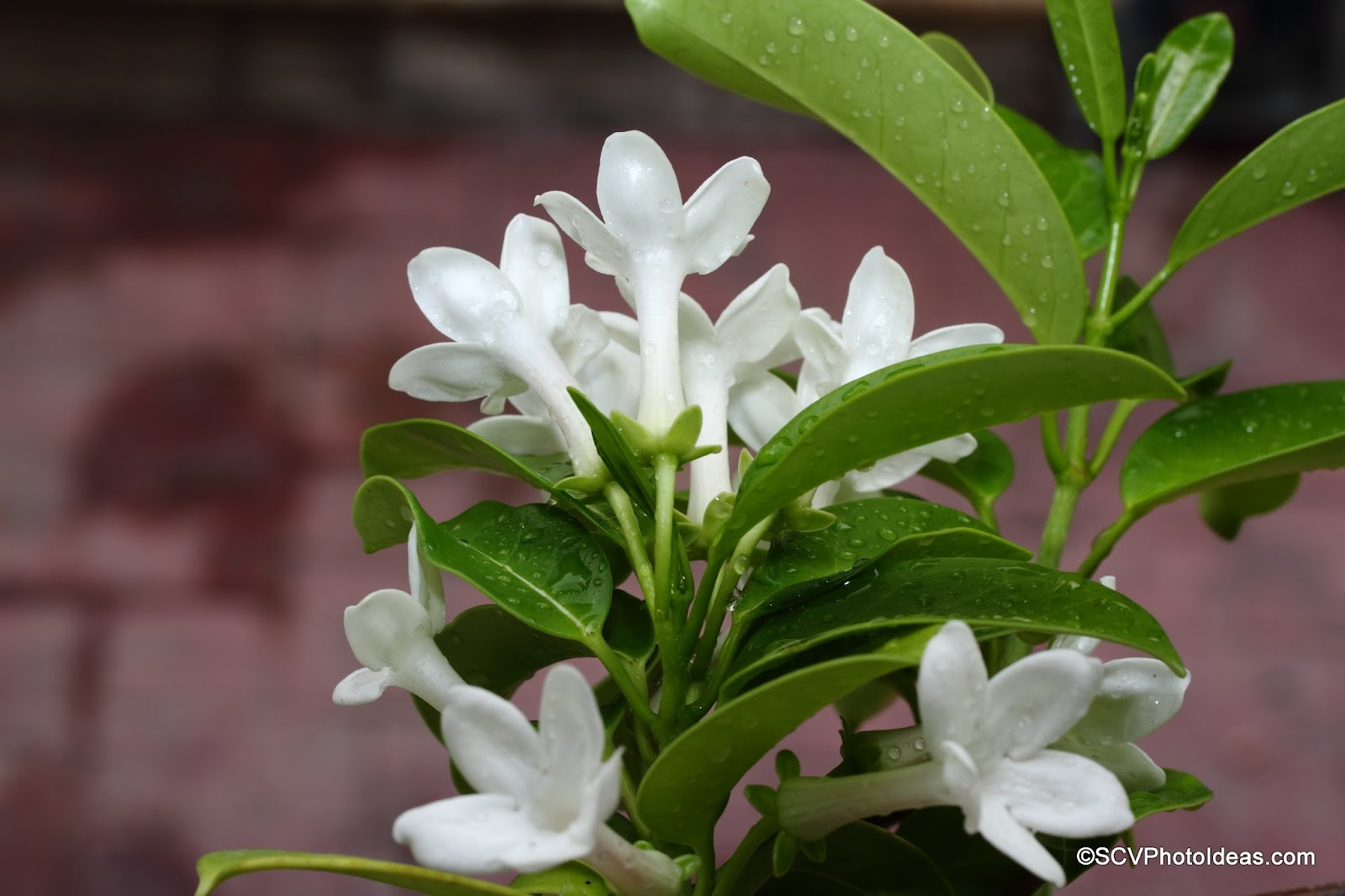 Stephanotis floribunda (Madagascar jasmine) showered open flowers bunch