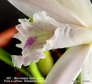 Laelia lundii, Bletia lundii, Sophronitis lundii, Microlaelia lundii