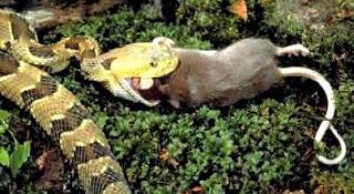 Serpiente comiendo rata