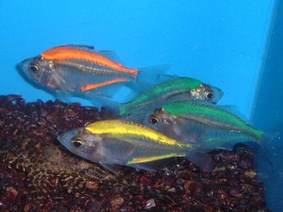 Aquarium Fish & Others: Indian Glassfish