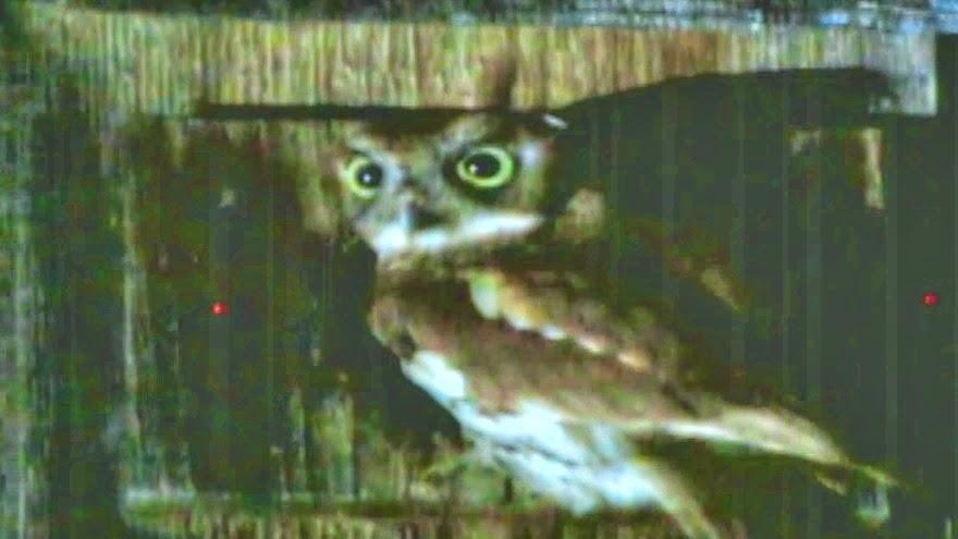 Wild Baby Screech Owls
