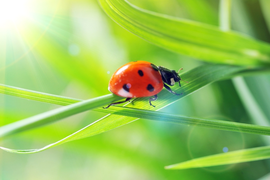 Catarina - Ladybug - Insectos