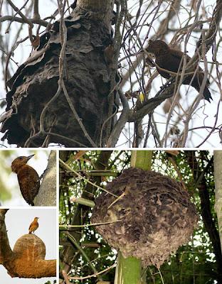 Foto Simbiosis Mutualisme Burung Pelatuk dan Semut Pohon