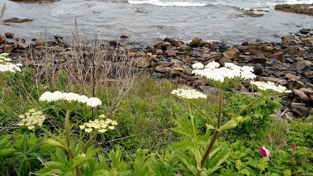 flowers along the Newport Cliff Walk