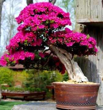 bonsai bougenville