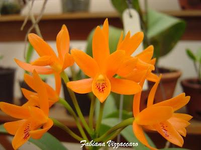 Cattleya Aurantiaca Orchids Flowers