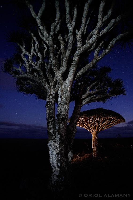 Dragos de Socotra Dracaena cinnabari de noche isla de Socotra Yemen