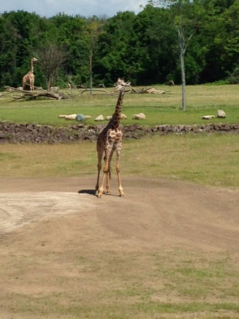 Baby giraffe at the zoo