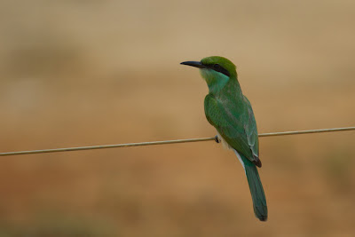 A Green Bee Eater (Merops orientalis) photographed in Panama, Sri Lanka
