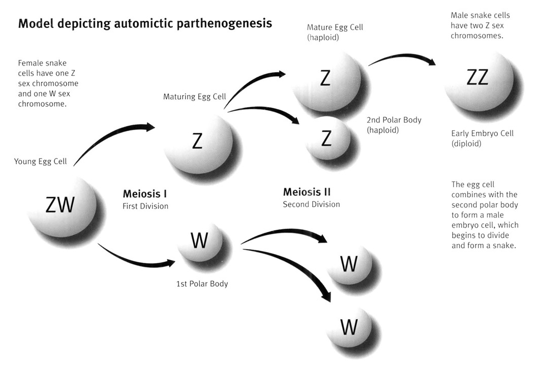 parthenogenesis vs sexual reproduction To an elementary student of these phenomena, parthenogenesis appears to  have much more in common with other types of sexual reproduction, and to refer  it.