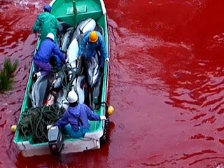 a sea of blood - dolphin slaughter in Japan